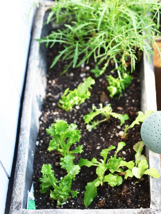 lettuce garden Sesame Ginger Miso Dressing