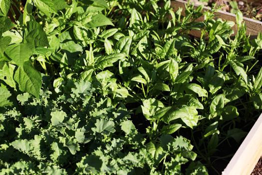 spinach garden Sesame Ginger Miso Dressing